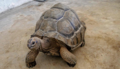 200-pound tortoise is back home after escaping Alabama pen