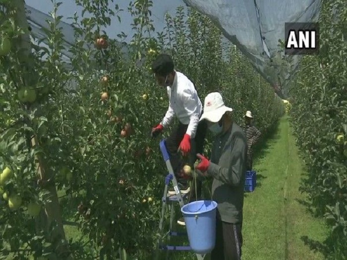 Sher-e-Kashmir University introduces hail net system to protect high-density apples