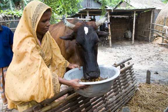 India's crackdown on cow smuggling adds to Bangladesh's GDP