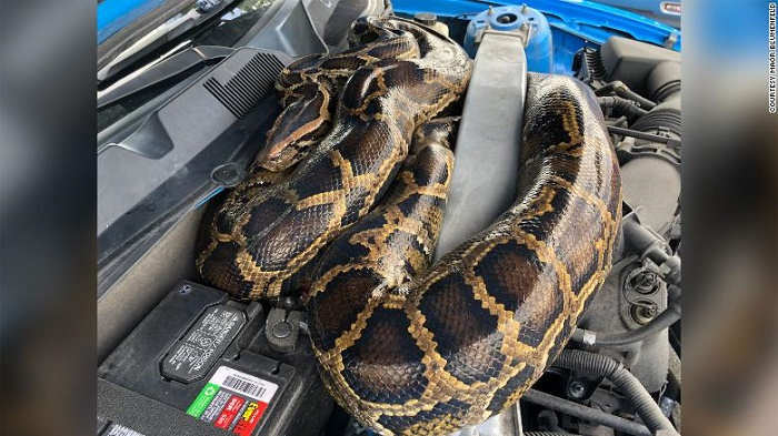 Florida wildlife officials captured a 10-foot-long python that had snaked its way into a Ford Mustang