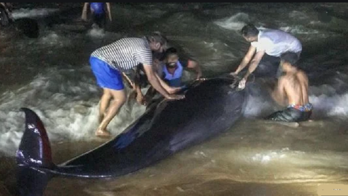 Sri Lanka rescues 120 whales after country's largest stranding