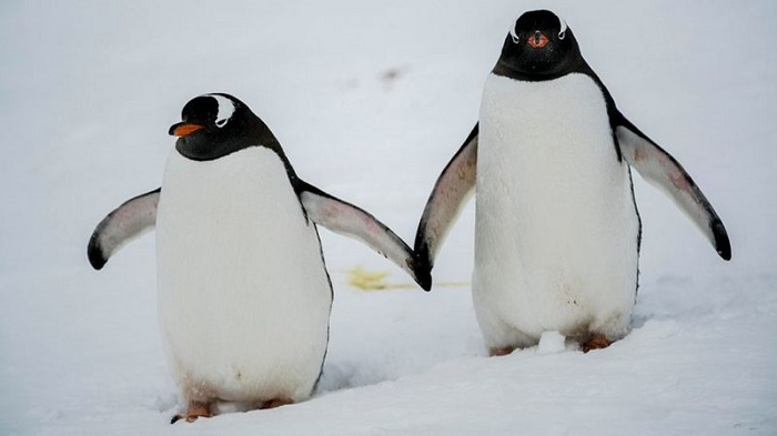 Gentoo penguins are four species, not one