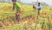 Aman harvesting goes on in N-region