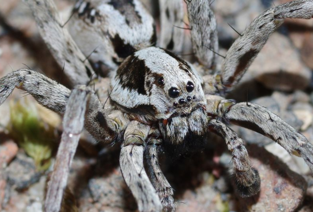 Huge spider assumed extinct spotted in UK for first time in 25 years
