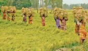 Farmers busy with Aman harvest in Rangpur