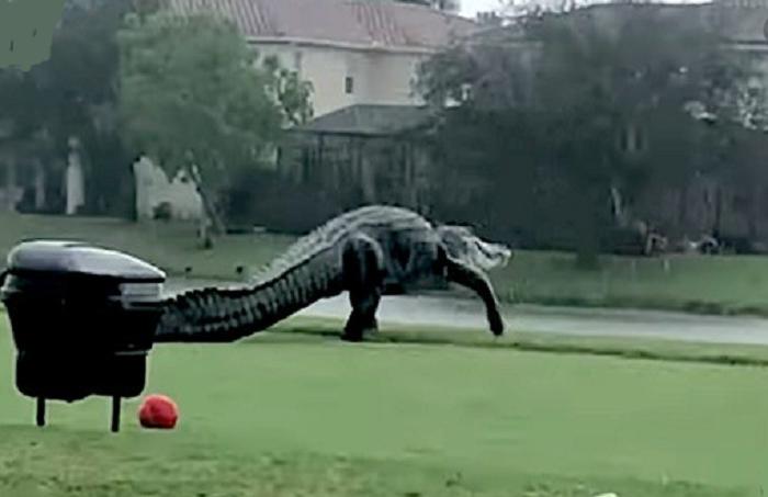 Dinosaur-like alligator spotted on golf course during storm Eta (Video)