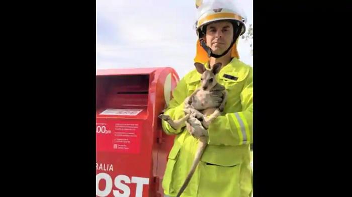 Baby kangaroo put inside post box in Queensland gets rescued