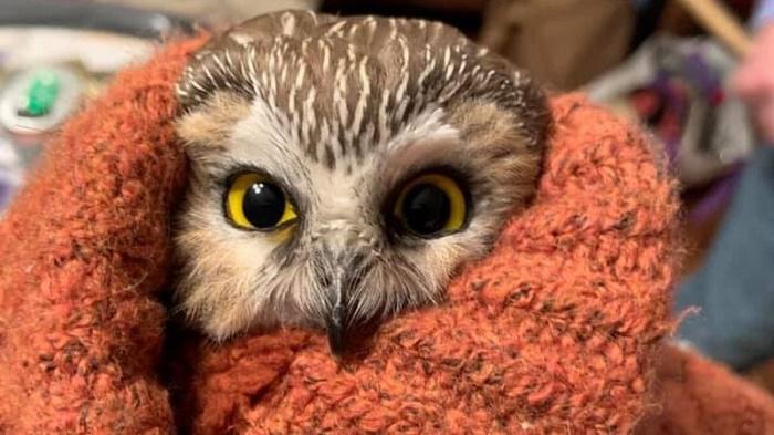 Tiny owl rescued from New York Rockefeller Center Christmas tree