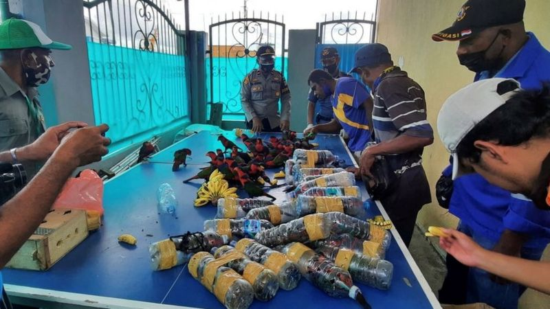 Smuggled Parrots found stuffed in plastic bottles in Indonesia