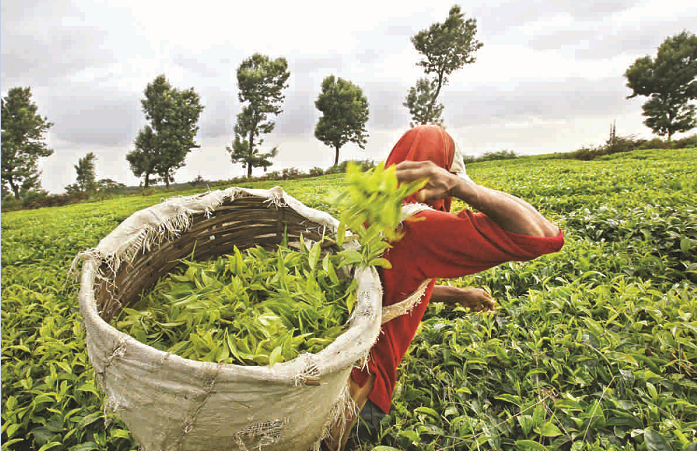 Govt to expand tea cultivation in CHT: commerce secretary