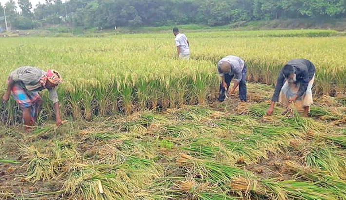 Farmers are busy harvesting Aman paddy