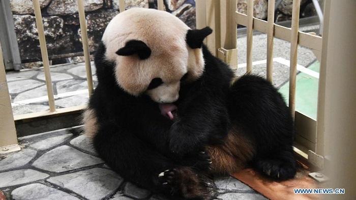 Giant panda cub born in Western Japan zoo