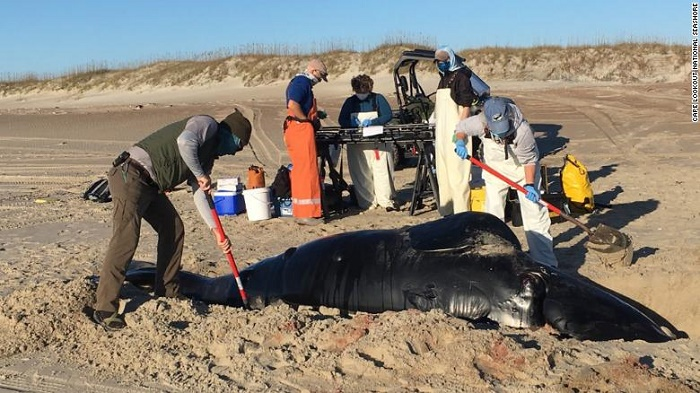 A rare species of whale washed ashore dead in North Carolina