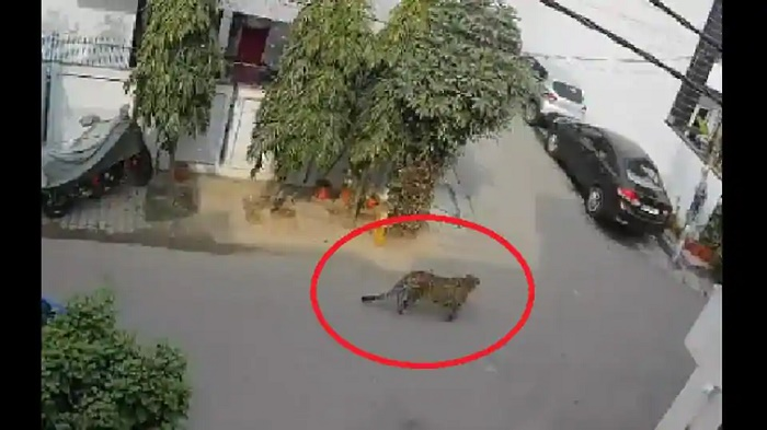 Viral video shows leopard strolling on road in Ghaziabad, later rescued by forest officials