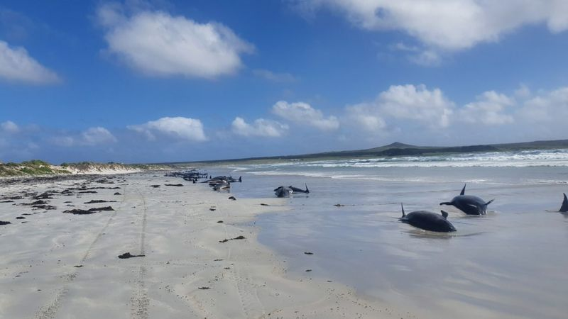 Nearly 100 pilot whales die in mass stranding off New Zealand islands