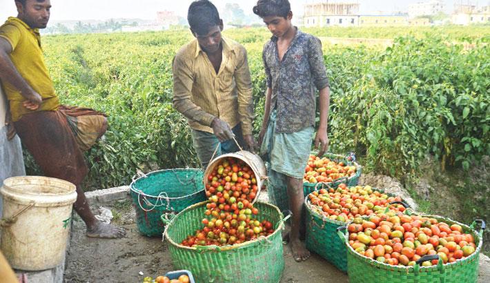Tomato Growers All Smiles