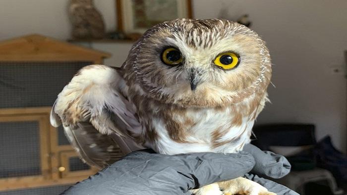 Rocky the Christmas tree stowaway owl returns to the wild