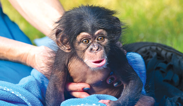 Baby chimp gives hope for Guinea's ape tribe