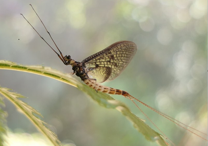 Danish Mayfly named 2021 insect of the year