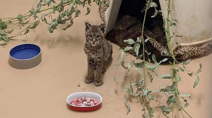 Bobcat burned in California wildfire recovers, to be released into the wild
