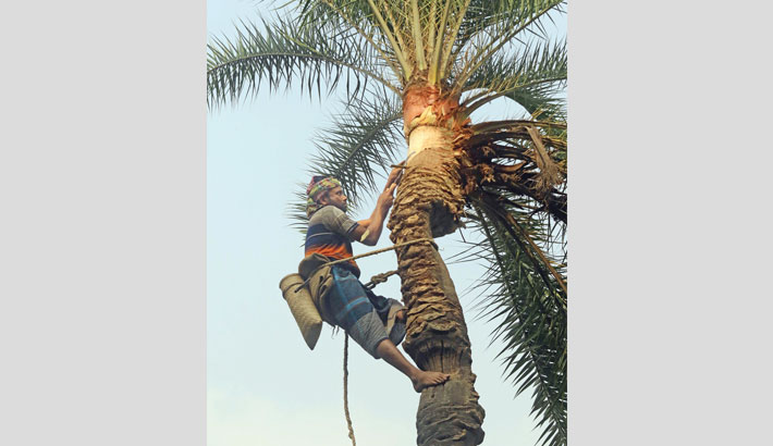 A man cuts a date tree to collect juice