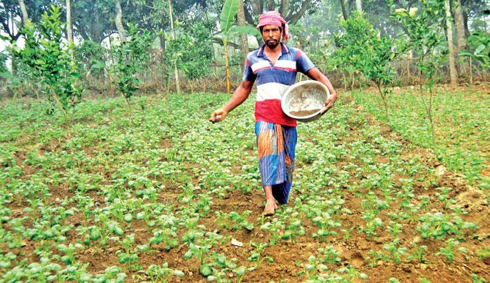 Farmer spreads fertiliser on his potato field