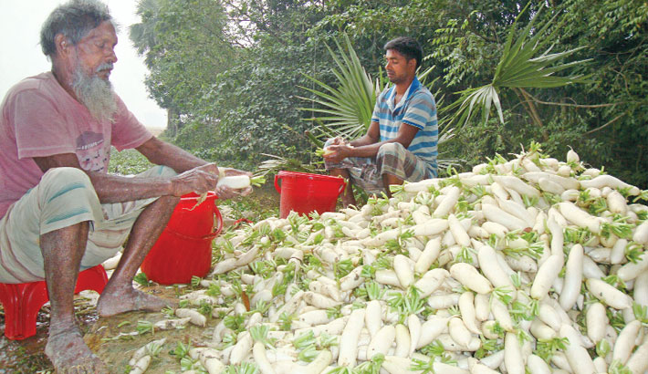 Growers are busy sorting out radish for sale