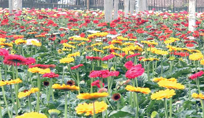 Flower farmers pass  busy time ahead of  V-Day, New Year