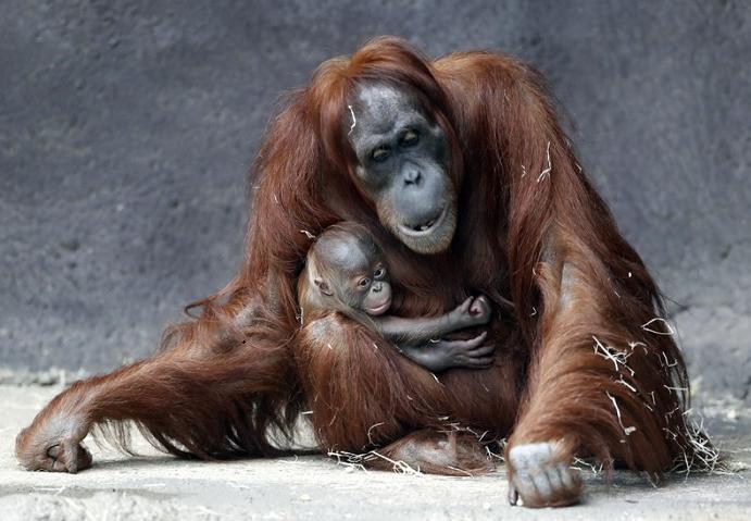 Prague zoo's month-old Sumatran orangutan finally has a name