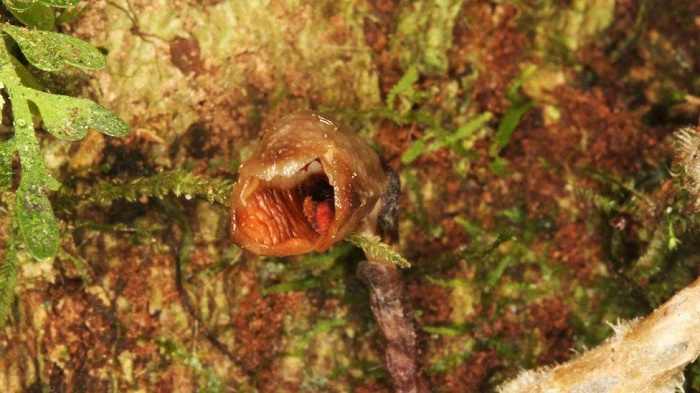 'World's ugliest orchid' tops list of new discoveries