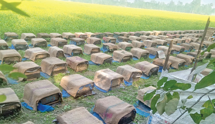 Beekeepers busy collecting honey  in Sirajganj