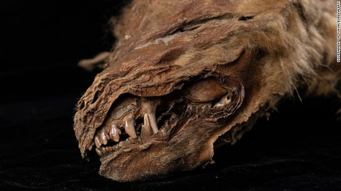 Ancient wolf cub found 'perfectly preserved' in Canadian permafrost
