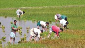 Govt plans big to boost Boro rice production