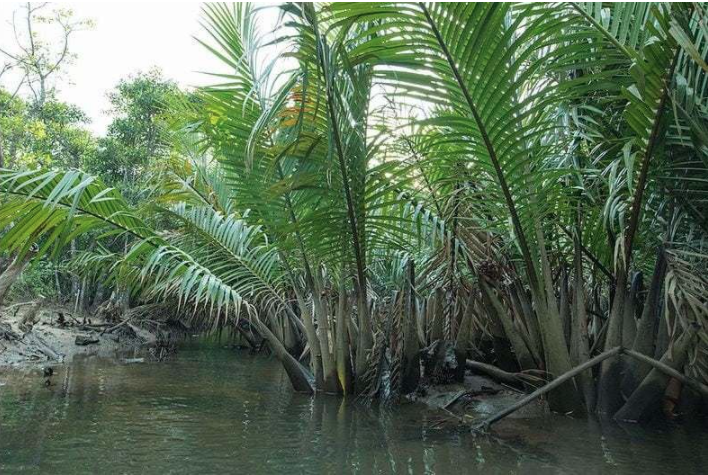 Golpata plants dying a slow death in the Sundarbans
