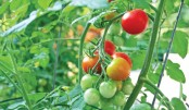 Khulna farmers happy with tomato yield, prices