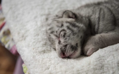 Rejected by mother, this rare white tiger cub is now being raised by humans
