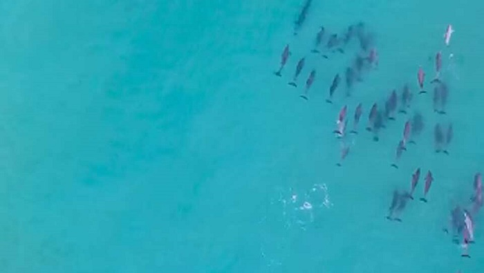 Drone captures dolphins 'showing off to their buddies'