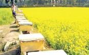Manikganj mustard fields draw honey collectors