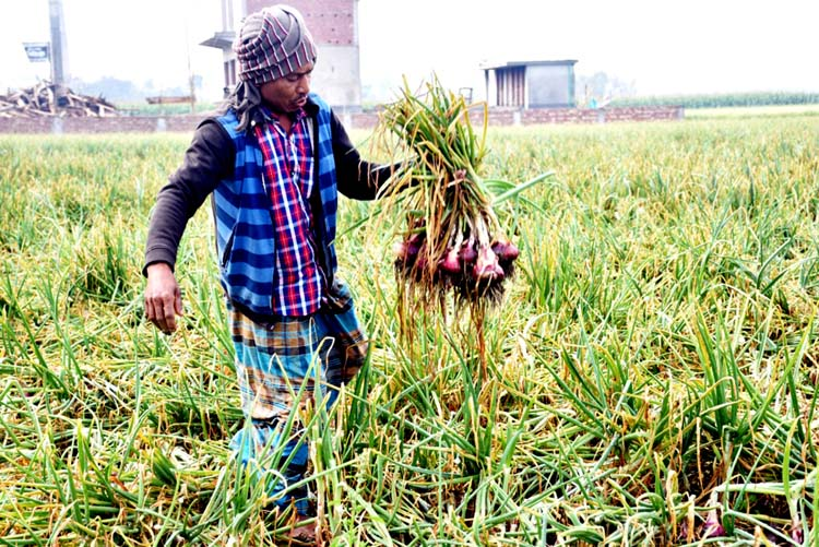 Farmers frustrated over falling onion prices