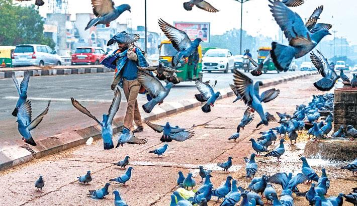 Commuters drive past a flock of pigeons