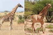 Two rare dwarf giraffes discovered in Namibia and Uganda