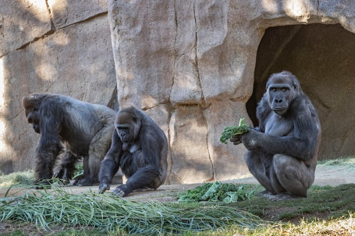Several Gorillas at San Diego Zoo test positive for COVID-19