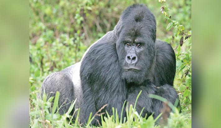 Gorillas test positive for corona
