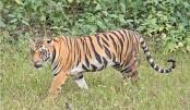 Sarankhola villagers in grip of tiger scare