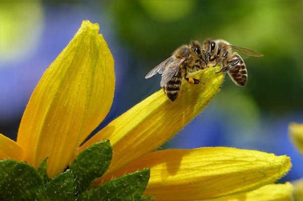 Bees may run out of nectar soon, new study reveals