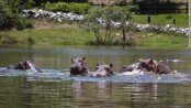 Colombia's 'cocaine hippos' must be culled, scientists say -- but not everyone agrees