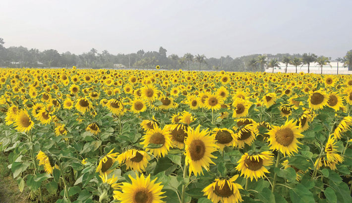 A sunflower field at Tebunia in Pabna district