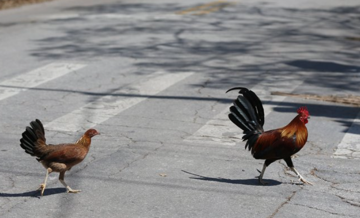 Key West wants to ban people from feeding roaming chickens
