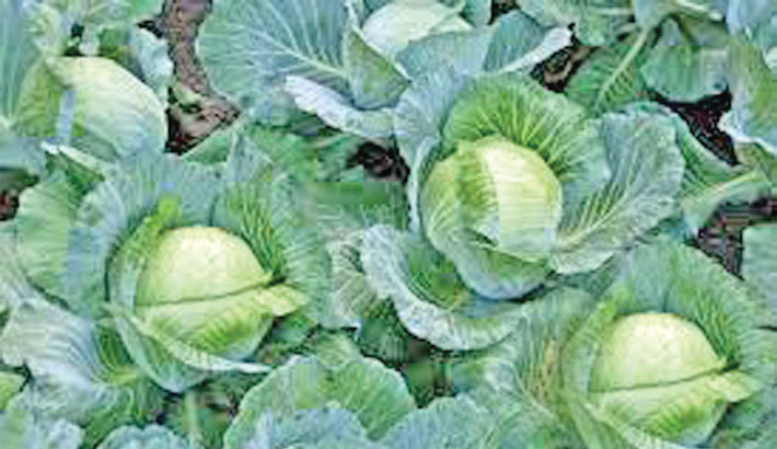 Masawa Agro starts  exporting cabbages
