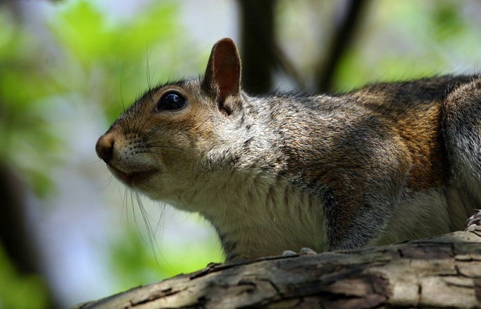 UK government backs birth control for grey squirrels
